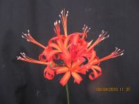 Nerine 'Corcusca Major'
