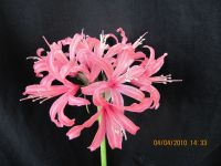 Nerine 'Flicker'