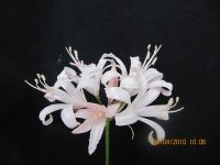 Nerine 'Satin Hat'