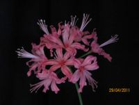 Nerine 'Tension'
